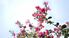 stock photo of crepes  - Pink colored crepe myrtle blooms in morning light - JPG