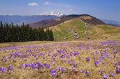 Постер, плакат: Flowering meadow in the mountains Spring landscape with flowers of crocuses Sunny day Alpine sett