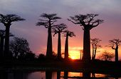 foto of baobab  - field of Baobab trees in Madagascar - JPG