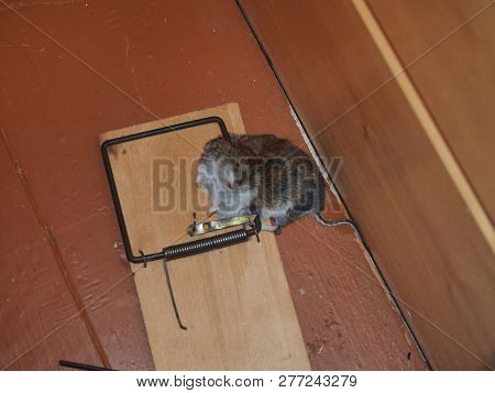 A Mouse Killed By A