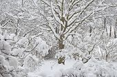 Snowy Winter Trees, Fresh New Snow Covered Garden, Lilac Branches After Blizzard Snowstorm, Heavy Sn poster