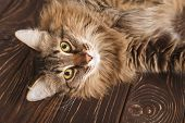 Portrait Of A Striped Fluffy Cat. Grey Striped Cute Cat Lying On Wooden Boards, Cat Muzzle Close-up poster