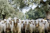Flock of sheep grazing in the countryside poster