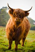 foto of highland-cattle  - Curious Highland Cow in field with forest on background - JPG