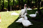 Domestic Bird Animals In The Backyard. Turkey Duck And Chicken In The Yard. Village Home With Domest poster