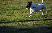 Mixed Breed Terrier Running Across A Grass Lawn Playing Fetch With A Tennis Ball In Her Mouth. poster