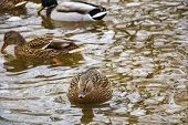 Ducks Swimming On Winter Lake. Male And Female Ducks On Freezing Water. Sunny Day Next To A Lake Wit poster