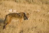 image of scat  - Coyote out looking for food in the tall grass - JPG