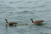 stock photo of mother goose  - The Canada Goose is a wild goose  native to arctic and temperate regions of North America - JPG
