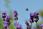 stock photo of bye  - A bee flies through the lavender flowers - JPG