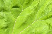 image of butterbur  - Veins in a leaf from the common butterbur - JPG