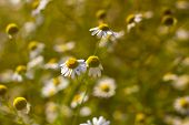 foto of feverfew  - Some feverfew are soaking up the sunlight - JPG