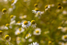 picture of feverfew  - Some feverfew are soaking up the sunlight - JPG