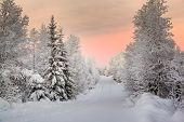 picture of laplander  - Snow covered trees in Lapland - JPG
