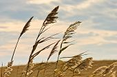 image of dry grass  - Prairie grass on a dry terrain against dark sky and rainy clouds, north Serbia