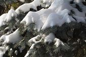 Furry Spruce In The Snow Close-up poster