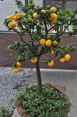 foto of tangerine-tree  - A tangerine tree plant with orange fruits - JPG