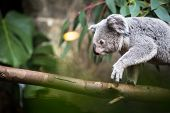 stock photo of koalas  - Koala on a tree with bush green background - JPG