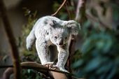 image of koalas  - Koala on a tree with bush green background - JPG
