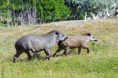 foto of lowlands  - Lowland or South American tapirs  - JPG