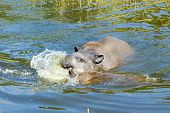 foto of lowlands  - Lowland or South American tapir  - JPG