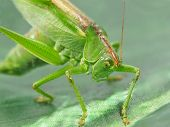 stock photo of locusts  - Green locust taken closeup on green background - JPG