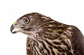 stock photo of goshawk  - Northern Goshawk - JPG