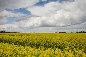 image of rape  - Rape flowering time of the beginning of the summer fields of Lithuania - JPG