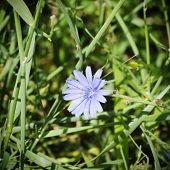 stock photo of chicory  - Photo of the Blue Chicory Flower Over Green Grass