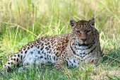 stock photo of panther  - panther lieing in grass and shade looking at camera - JPG