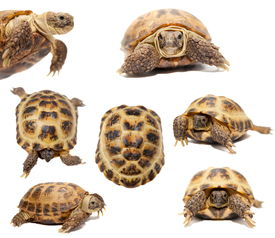 picture of russian tortoise  - Russian or Central Asian tortoise - JPG