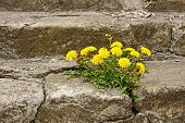 stock photo of staircases  - First spring dandelion flowers blossoming on an old cracked concrete staircase - JPG