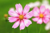 picture of cosmos flowers  - Cosmos flowers - JPG