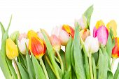 foto of bosoms  - border of multicolored  tulip flowers   isolated on white background - JPG