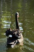pic of black swan  - Black swan on the water swiming away - JPG