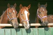 picture of thoroughbred  - Nice thoroughbred foals in the stable door - JPG