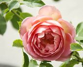 image of english rose  - Rose - JPG