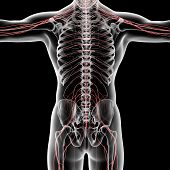 pic of spinal cord  - 3d rendered illustration of the male nervous system  - JPG