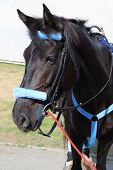 stock photo of harness  - Black horse in blue harness stand on street in summer sunny day - JPG