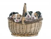 picture of french bulldog puppy  - puppies french bulldog in basket in front of white background - JPG