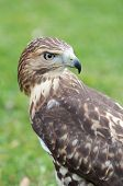 stock photo of hawks  - Portrait of a red - JPG