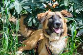 pic of hairy tongue  - dog resting on green grass - JPG