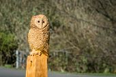 stock photo of man chainsaw  - The making of an owl sculpture by a chainsaw sculptor here freshly completed - JPG