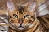 picture of tabby-cat  - Cat Bengal breed - JPG
