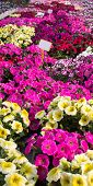 stock photo of petunia  - background Pink petunias in the great greenhouse - JPG
