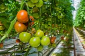 image of horticulture  - Tomatoes in different colors and stages of growth growing on substrate at tied plants in a large specialized Dutch greenhouse horticulture company - JPG