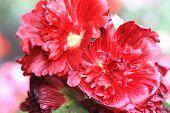 image of hollyhock  - Red hollyhock flowers - JPG