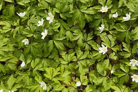 pic of windflowers  - top view of carpet of white windflower background - JPG