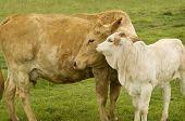 pic of charolais  - charolais cow with baby calf  - JPG
