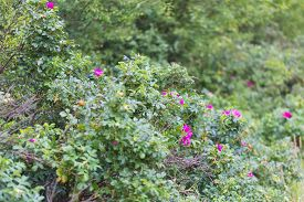 stock photo of wild-brier  - Wild rose bushes with flowers and fruits photographed in summertime forest - JPG